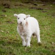 Single new born lamb — Stock Photo