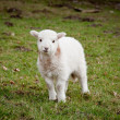 Single new born lamb — Stok fotoğraf