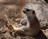 Small Meerkat with baby in lap — Stock Photo