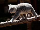 Koala Bearwalking along branch — Stock Photo