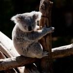 Koala Bear cuddling on a branch — Stock Photo