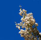 Mojave Yucca blossoms against blue sky — Stock Photo