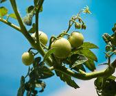 Green tomatoes on vine — Stock Photo