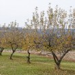 Apple orchard in the fall — Stock Photo