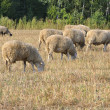 Grazing sheep — Stock Photo #3664920