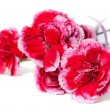 Carnation on a white background — Stockfoto