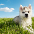 Siberian husky dog puppy — Stock Photo