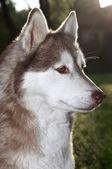 Closeup husky dog outdoors — Stock Photo