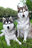 Pair of husky dogs outdoors — Stock Photo