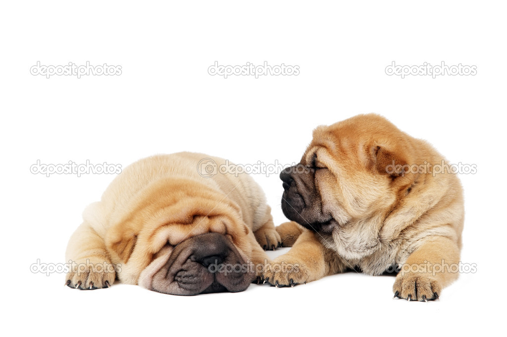 Couple small purebred lying beige sharpei puppy isolated on white — Stock Photo #3242500