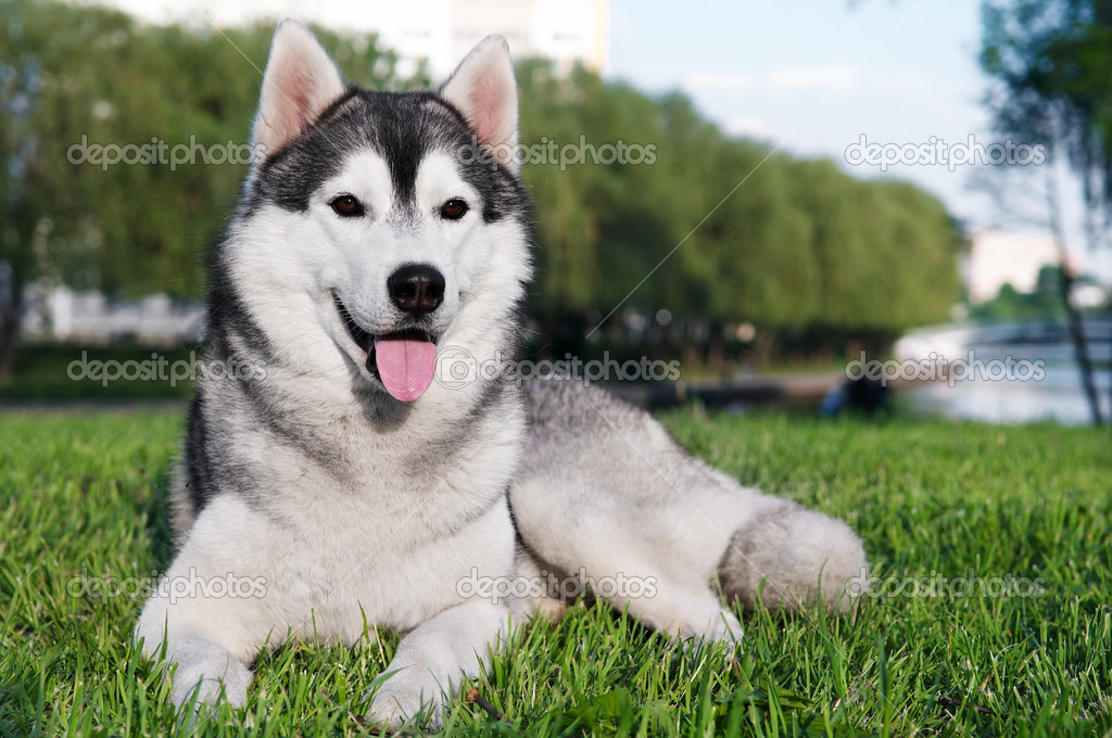 Husky Dog For Sale In Malaysia