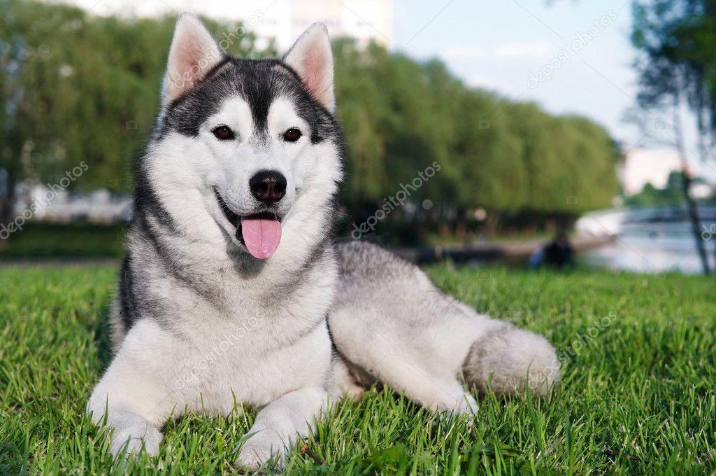 Husky Dog Sale Malaysia