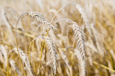 Ears of rye (wheat) cereals — Stock Photo