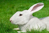 White rabbit bunny on grass — Stock Photo