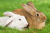 Two rabbits bunny on grass — Stock Photo