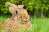Brown rabbit bunny on grass — Stock Photo