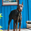 Brown doberman — Stock Photo