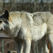 One gray wolf standing. - Stock Photo