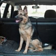 Alsatian dog in back seat of car. — 图库照片
