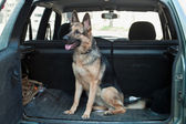 Alsatian dog in back seat of car. — Stock Photo