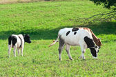 Two cows in the meadow. — Stock Photo