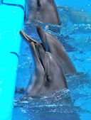 Dolphins in dolphinarium — Stock Photo