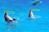 Two dolphins playing with rings in dolphinarium — Stock Photo