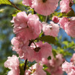 Stock Photo: Pink blooming tree