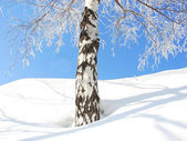 Winter tree — Photo