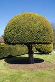 Topiary tree — Stock Photo
