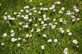 Lot of daisies in green lawn — Stock Photo
