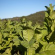 Tobacco Plantation in Tuscany — Stock Photo