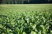Tobacco Plantation in Tuscany — Stock Photo
