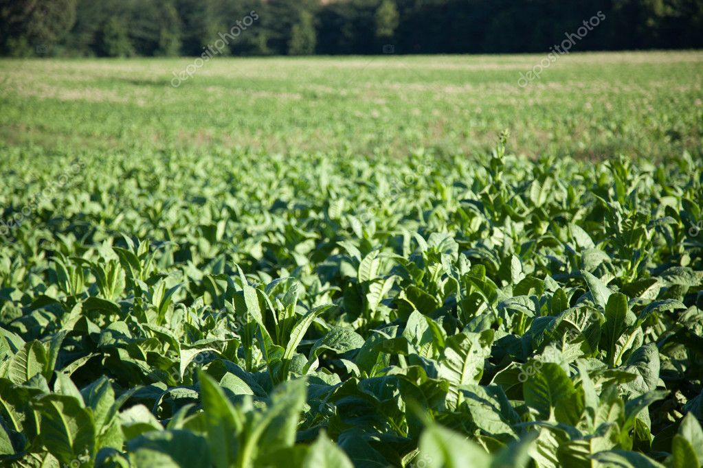 Tobacco Plantation in Tuscany  Stock Photo #3592383