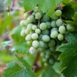 Wine Grapes in the Vineyard on a Misty Day — Stock Photo