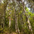 Stock Photo: Some High Trees in the Wood
