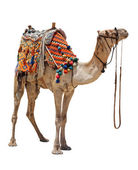 Domestic camel — Stock Photo