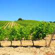 Vineyard In The Chianti - Stock Photo