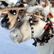 Reindeer — Stock Photo #2778179