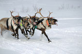 Reindeer Race — Stock Photo