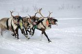 Reindeer Race — Stock Photo