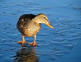 Canard sur glace mince — Photo