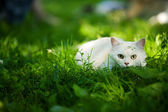 White Cat — Stock Photo