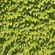 Ivy texture — Stock Photo