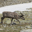 Reindeer in tundra — Stockfoto #3031871