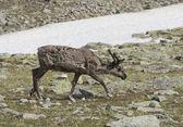Renifery w tundra — Zdjęcie stockowe