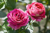 Two pink roses — Stock Photo