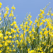 Yellow Ginestra — Stock Photo