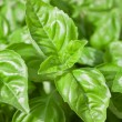 Basil Leaves Closeup — Stock Photo