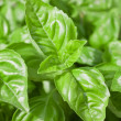 Basil Leaves Closeup - Stock Photo